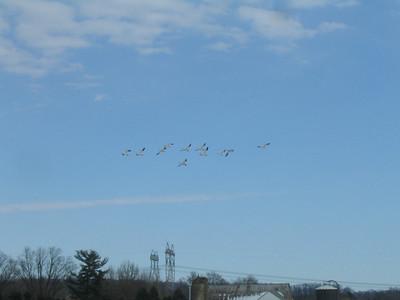 In late February, snow geese were seen feeding in an open field in Bally, Pa.